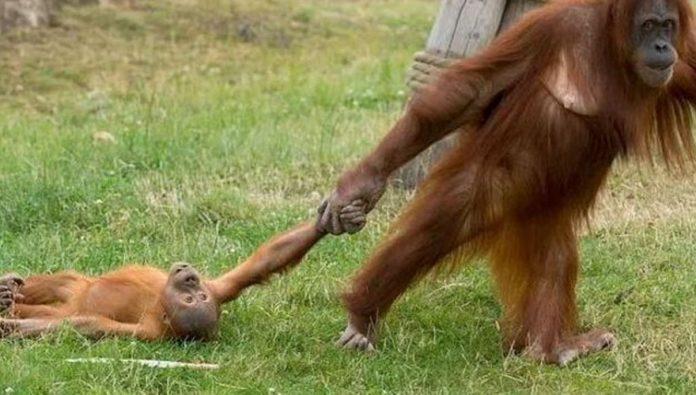 blog-brinquedos-didaticos-Fotógrafo registra birra de orangotango arrastado pela mãe